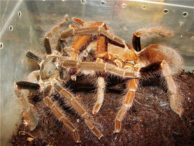 Секс пауков